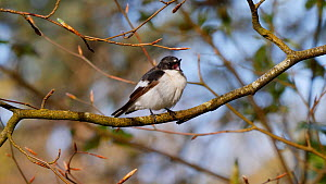 Male Pied flycatcher (Ficedula hypoleuca) perched on a branch, disgorges pellet before flying out of frame, Carmarthenshire, Wales, UK, May.  -  Dave Bevan