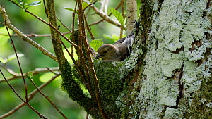 Female Chaffinch (Fringilla coelebs) bringing moss to nest and incorporating it into nest before flying out of frame, Carmarthenshire, Wales, UK, May.  -  Dave Bevan