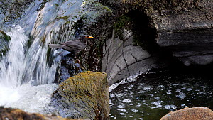 Male Blackbird (Turdus merula) catching European eel (Anguilla anguilla) elvers as they migrate up a waterfall, Ceredigion, Wales, UK, July.  -  Dave Bevan