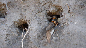Pair of Sand martins (Riparia riparia) feeding chicks, Carmarthenshire, Wales, UK, July.  -  Dave Bevan