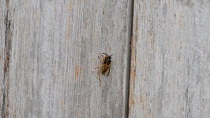 Common wasp (Vespula vulgaris) collecting wood pulp from a wooden shed, Worcestershire, England, UK, July. - Dave Bevan