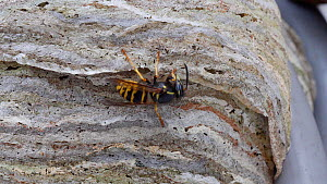 Common wasp (Vespula vulgaris) adding material to nest, Carmarthenshire, Wales, UK, July.  -  Dave Bevan