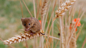Harvest mouse (Micromys minutus) grooming, sitting on a wheat seedhead, UK, July. Captive.  -  Dave Bevan