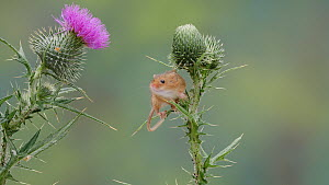 Harvest mouse (Micromys minutus) climbing a Thistle (Cirsium), UK, July. Captive. - Dave Bevan