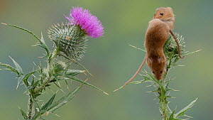 Juvenile Harvest mice (Micromys minutus) climbing a Thistle (Cirsium), UK, July. Captive.  -  Dave Bevan