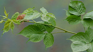 Harvest mouse (Micromys minutus) climbing along a bramble stem, UK, July. Captive.  -  Dave Bevan