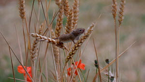 Harvest mouse (Micromys minutus) climbing on corn stalks, UK, July. Captive.  -  Dave Bevan