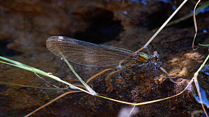 Female Beautiful demoiselle (Calopteryx virgo) laying eggs along a stream edge, Carmarthenshire, Wales, UK, July. - Dave Bevan