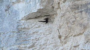 Slow motion clip of a Common swift (Apus apus) flying from nest crevice in a rock face Norfolk, England, UK, July.  -  Dave Bevan