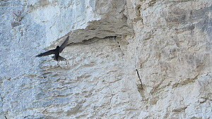 Slow motion clip of a Common swift (Apus apus) flying and landing on a rockface before entering nest crevice, Norfolk, England, UK, July.  -  Dave Bevan