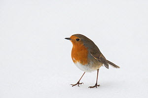 Robin (Erithacus rubecula) Standing in snow, Hertfordshire, ENgland, UK, March - Andy Sands