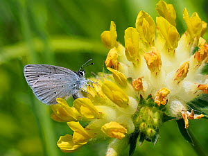 Small blue butterfly (Cupido minimus) female laying eggs among flowers of Kidney Vetch (Anthyllis vulneraria), Hertfordshire, England, UK, May  -  Andy Sands