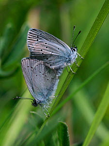 Small blue butterfly (Cupido minimus) mating pair, Hertfordshire, England, UK, May  -  Andy Sands