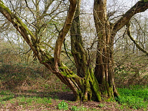 Small leaved lime / Pry Tree (Tilia cordata) veteran tree that was once a coppice stool but has remained un-cut for around 100 years plus. Ancient woodland indicator species, Suffolk, England, UK, Apr... - Andy Sands