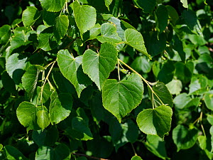 Small leaved lime / Pry Tree (Tilia cordata) Close up of leaves, ancient woodland indicator species, Suffolk, England, UK, May - Andy Sands
