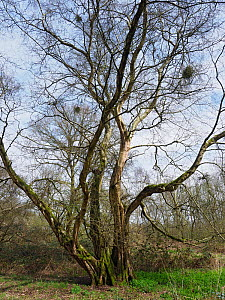 Small leaved lime / Pry Tree (Tilia cordata) Veteran tree that was once a coppice stool but has remained un-cut for around 100 years plus, ancient woodland indicator species, Suffolk, England, UK, Apr... - Andy Sands