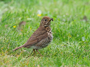 Song thrush (Turdus philomelos) adult carrying food, Upper Teesdale, Co Durham, England, UK, June  -  Andy Sands