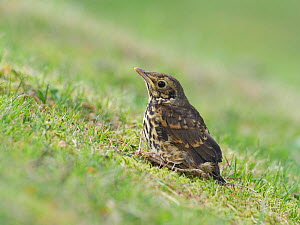 Song thrush (Turdus philomelos) recently fledged chick staying perfectly still to avoid detection, Upper Teesdale, Co Durham, England, UK, June  -  Andy Sands
