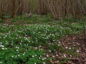 Wood anemone (Anemone nemorosa) flowering en-masse under coppice woodland a good ancient woodland indicator species, Suffolk, England, UK, April  -  Andy Sands