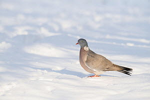 Wood pigeon (Columba palumbus) on ground after heavy snow, Hertfordshire, England, UK, December - Andy Sands