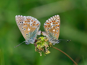 Adonis Blue (Polyommatus bellargus) Mating pair, East Sussex, England, UK, May - Andy Sands
