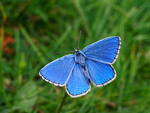 Adonis Blue (Polyommatus bellargus) Male basking with wings open, East Sussex, England, UK, May - Andy Sands