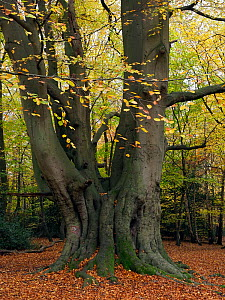 Beech Tree (Fagus sylvatica) ancient coppard - old coppice stool that was then pollarded and has since not been cut for several generations, Essex, England, UK, November  -  Andy Sands