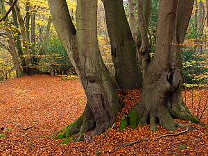 Beech Tree (Fagus sylvatica) ancient coppice stools uncut for several generations, Essex, England, UK, November  -  Andy Sands
