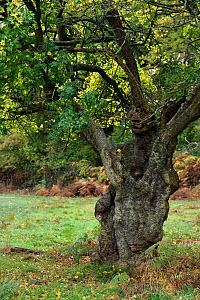 Field maple (Acer campestre) ancient pollarded tree, London, England, Uk, November  -  Andy Sands