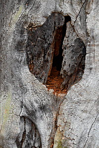 English oak tree (Quercus robur) Split in dead trunk showing red deadwood inside trunk this is a very important habitat of ancient trees for saproxylic insects, London, England, UK, November  -  Andy Sands