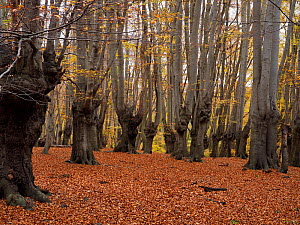 Beech tree woodland (Fagus sylvatica) old pollards, Epping Forest, Essex, England, UK, November  -  Andy Sands