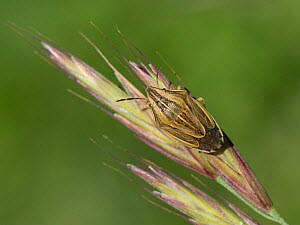 Bishop's mitre shieldbug (Aelia acuminata) on grass seedhead, Buckinghamshire, England, UK, June  -  Andy Sands
