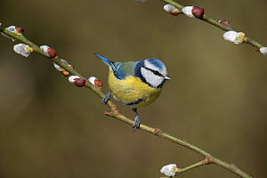 Blue tit (Cyanistes caeruleus) perched among Pussy Willow catkins, Hertfordshire, England, UK, February  -  Andy Sands