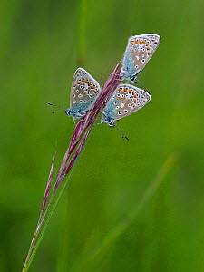 Common Blue Butterfly (Polyommatus icarus) roosting communally, East Sussex, England, UK, May  -  Andy Sands