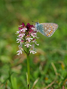 Common Blue Butterfly (Polyommatus icarus) feeding on Burnt-tip Orchid (Orchis ustulata) , East Sussex, England, UK, May  -  Andy Sands