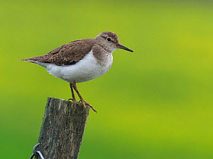 Common Sandpiper (Actitis hypoleucos) on top of fence post, Upper Teesdale, Co Durham, England, UK, June  -  Andy Sands