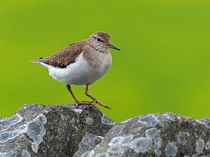 Common sandpiper (Actitis hypoleucos) walking along top of drystone wall, Upper Teesdale, Co Durham, England, UK, June - Andy Sands