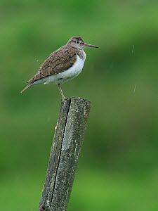 Common sandpiper (Actitis hypoleucos) On top of old fencepost in rain, Upper Teesdale, Co Durham, England, UK, June  -  Andy Sands