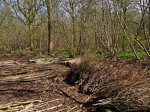 Ancient coppice woodland showing coppice stools, timber trees and stacked poles and brushwood in forground, example of woodmanship and traditional woodland managment, Suffolk, England, UK, April  -  Andy Sands