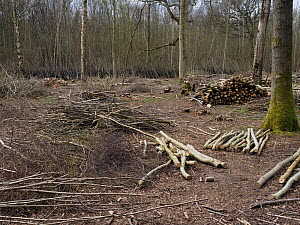 Recently felled ancient coppice woodland showing timber trees and stacked poles with traditional fencing using brushwood to protect re-growth of stools, example of woodmanship and traditional woodland...  -  Andy Sands