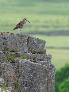 Curlew (Numenius arquata) Standing on top of cliff edge, Upper Teesdale, Co Durham, England, UK, June - Andy Sands