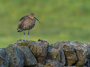 Curlew (Numenius arquata) Standing along dry stone wall, Upper Teesdale, Co Durham, England, UK, June - Andy Sands
