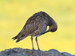 Curlew (Numenius arquata) preening on top of dry stone wall, Upper Teesdale, Co Durham, England, UK, June - Andy Sands