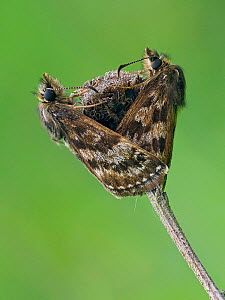 Dingy skipper butterfly (Erynnis tages) mating pair, Bedfordshire, England, UK, May - Focus Stacked Image - Andy Sands