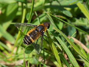 Downland bee-fly (Villa cingulata) male, this rare southern species is usually seen on calcareous grassland in the Chilterns, Buckinghamshire, England, UK, June  -  Andy Sands