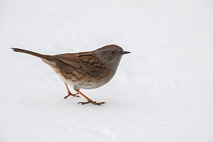 Dunnock (Prunella modularis) On the ground in snow, Buckinghamshire, England, UK, March  -  Andy Sands