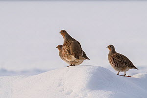 Grey partridge (Perdix perdix) three birds on snow covered mound, Bedfordshire, England, UK, December  -  Andy Sands