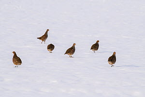 Grey partridge (Perdix perdix) group of 6 birds on snow covered arable field, Bedfordshire, England, UK, December - Andy Sands