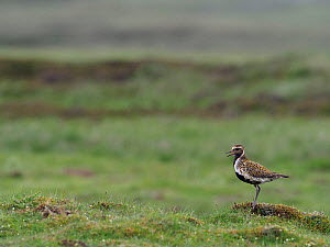 Golden plover (Pluvialis apricaria) male calling from short turf in Pennines, Upper Teesdale, Co Durham, England, UK, June - Andy Sands