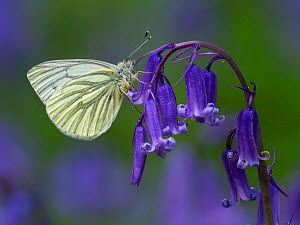 Green Veined White Butterfly (Pieris napi) Roosting on Bluebell flower, Cambridgeshire, England, UK, April - Andy Sands